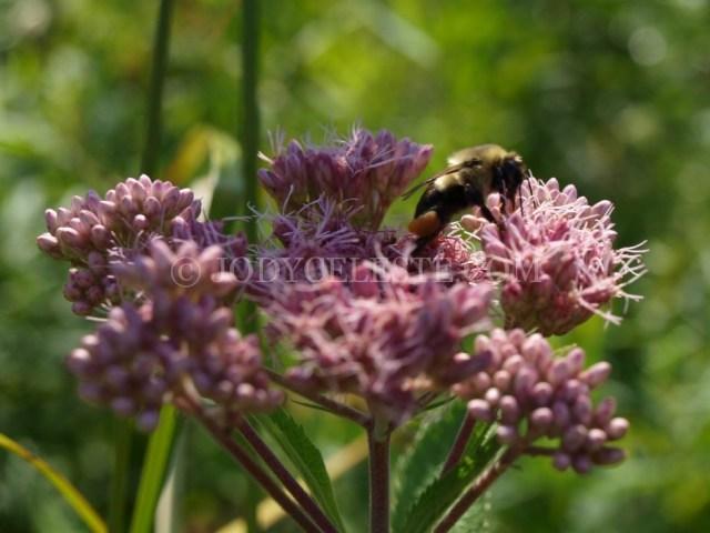 Honey Bee on Joe-Pye Weed