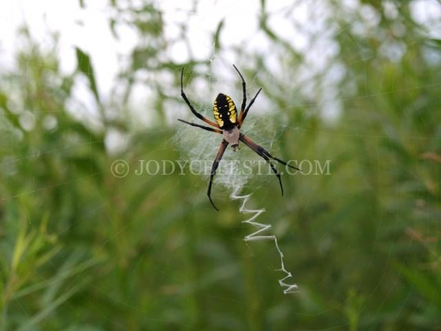 Agriope Spider