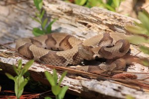 copperhead snake curled up in a log in the woods
