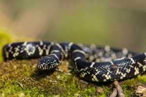 Eastern King snake on a moss-covered log