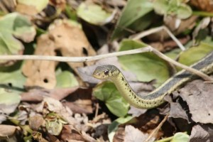 Garter Snake slithering through a bunch of leaves