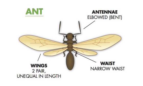 flying ant vs swarming termite