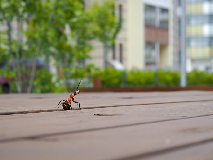ant crawling up through the wooden panels of a deck with a defocused background of apartments