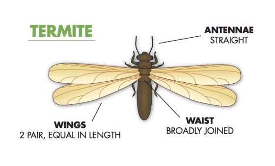 diagram of a swarming termite