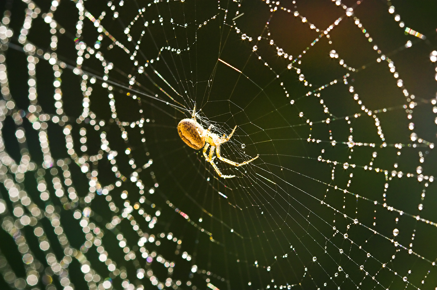 yellow spider in the center of a wet web