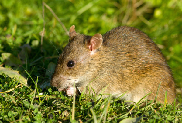 A Brown Rat on a lawn nibbling on grass