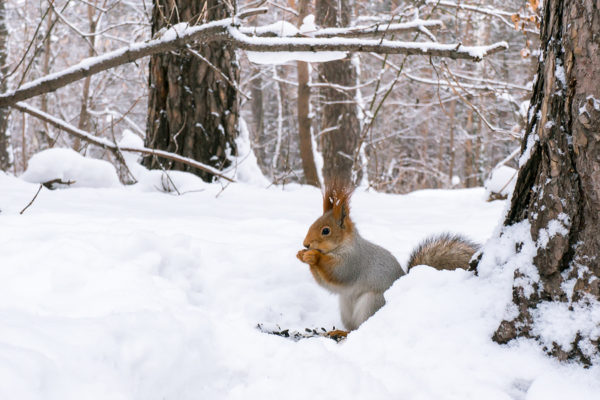 A squirrel eating nuts in the snow in winter forest