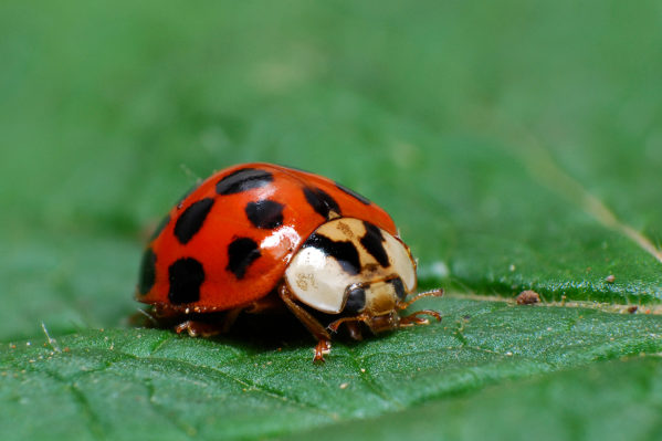 Ladybird sitting on grass in the meadow.