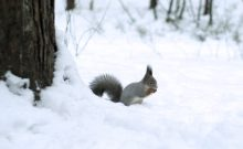 Squirrel eating nut in snow