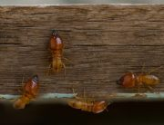 Link to blogpost: Spring Is Termite Swarming Season