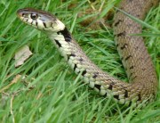 Link to blogpost: DIY Remedies for Snakes