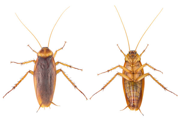How to identify roaches