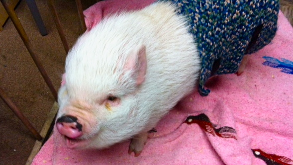pet pig wearing clothing