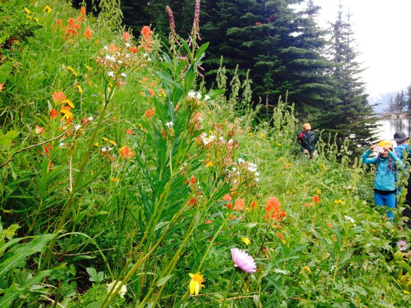 canadian wildflowers