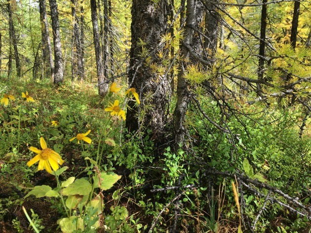 high alpine flowers