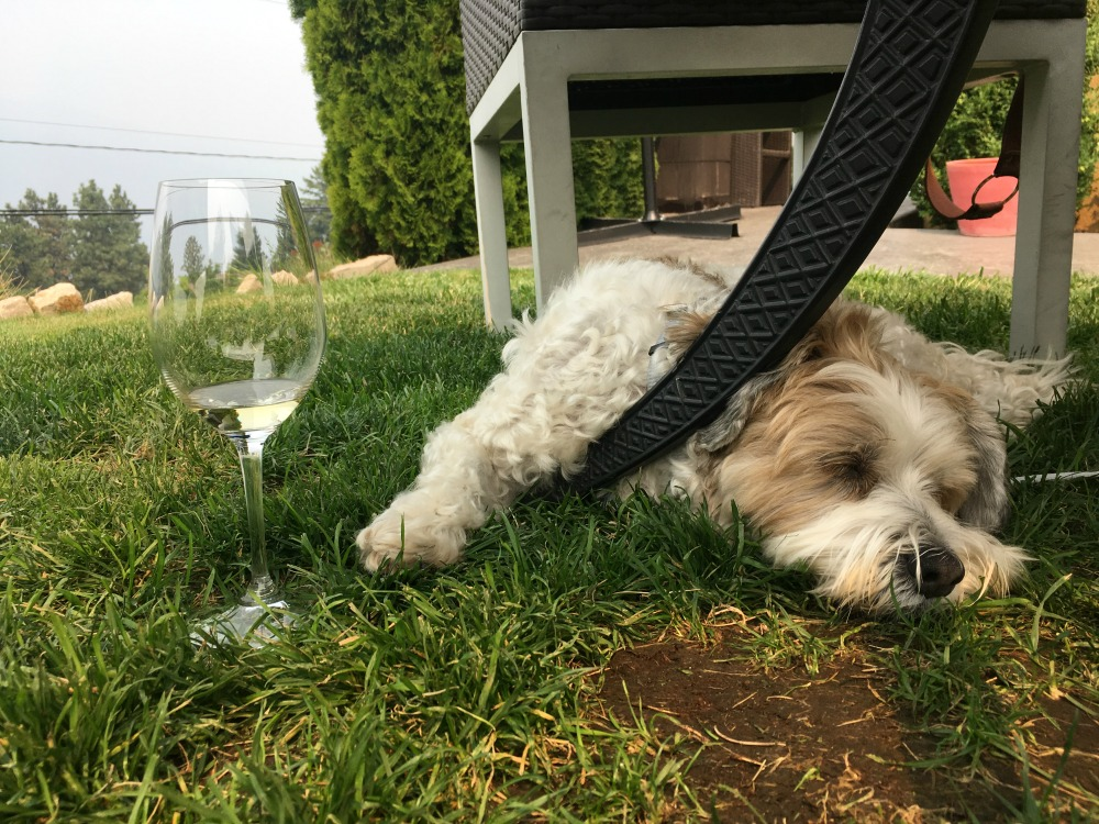 dog at winery