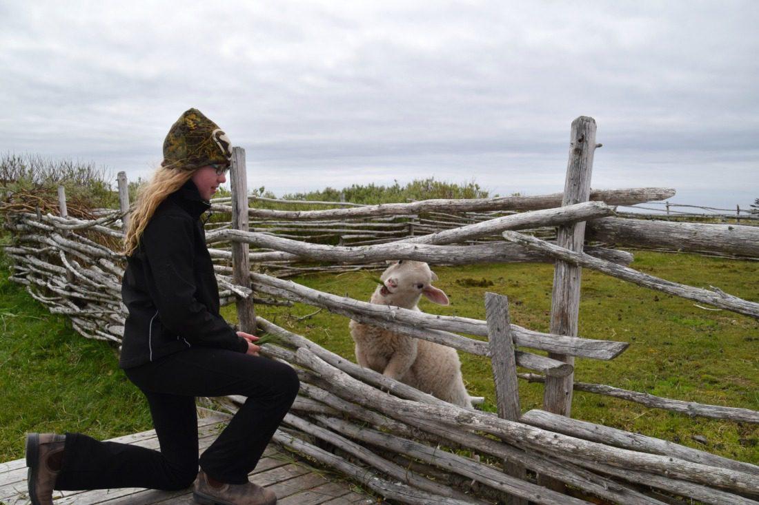 sheep Viking Trail