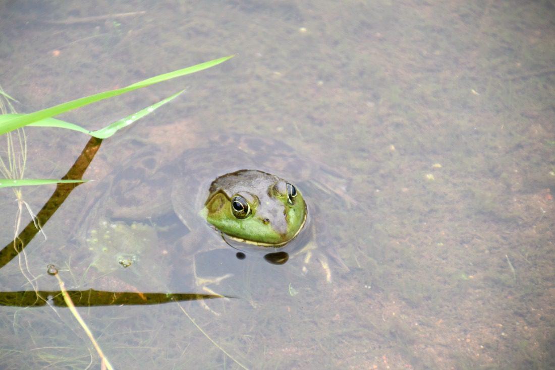 green frog hiding