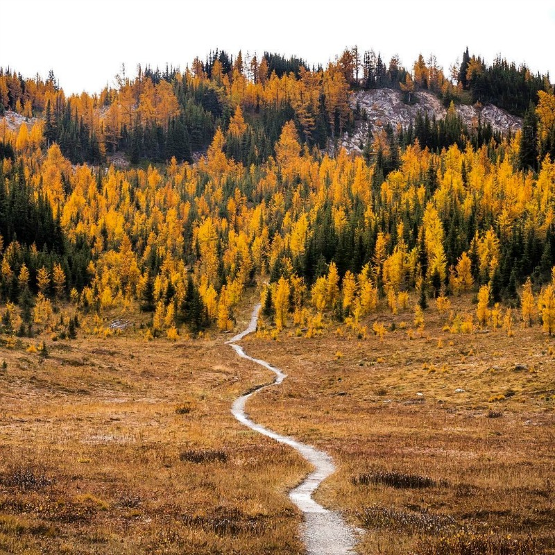 yellow larches in fall