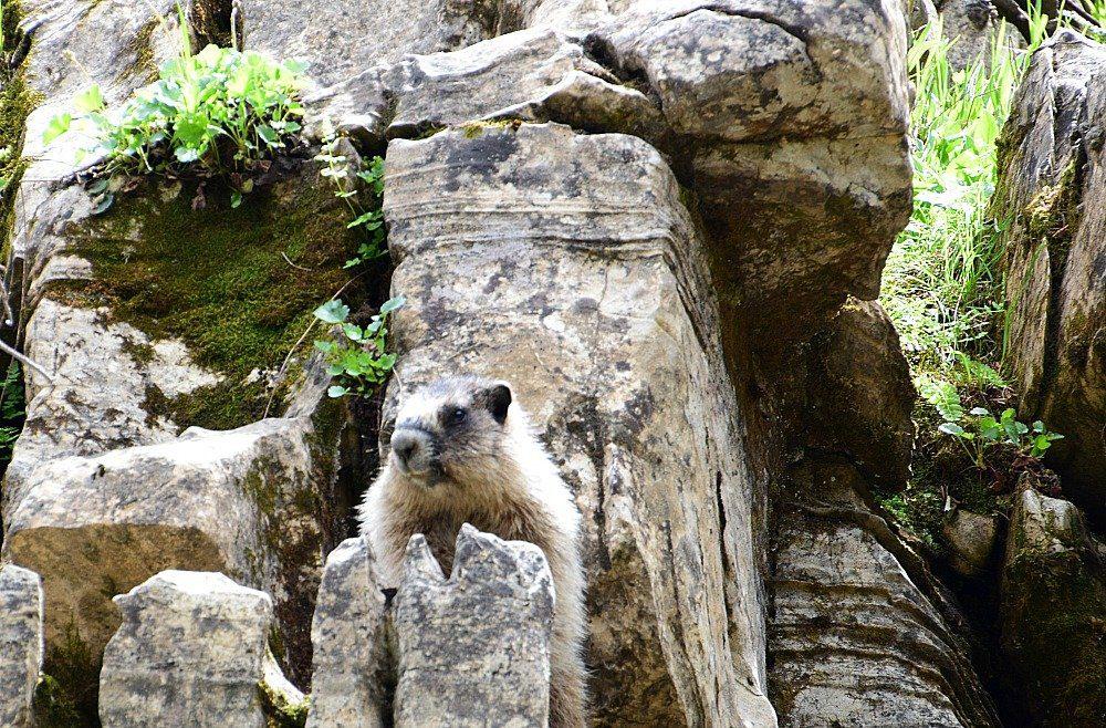 Marmot national park canada