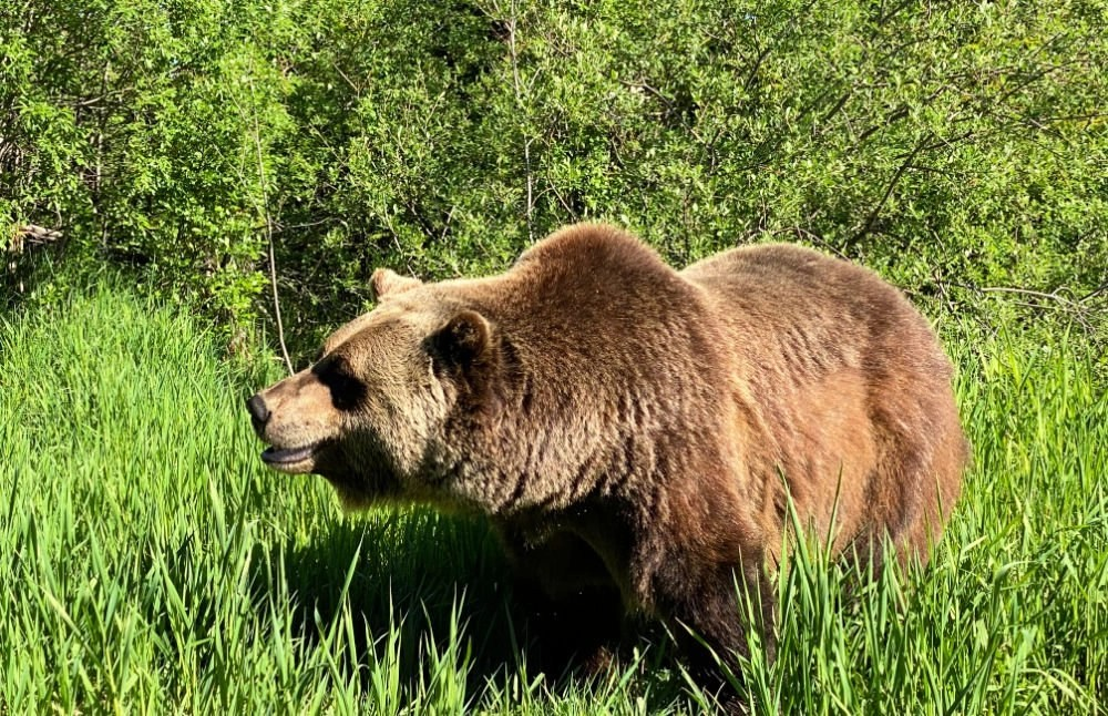grizzly bear interpretive centre