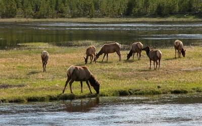 Yellowstone, near West Entrance Wapiti Dear