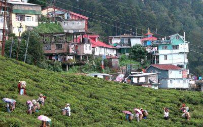 Darjeeling staat bekend om zijn theeproductie, West-Bengalen, India, 2009
