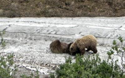 Alaska, Denali NP, Grizzly beer