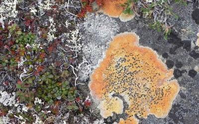 Alaska, Toendra Veenmos
