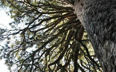 USA - Yosemite, Mariposa Grove of giant sequoias