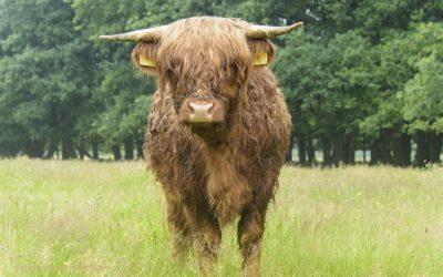 Taurusrund, De Peel, Nederland, 26-6-2016