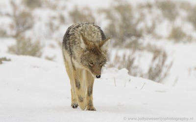 Coyote, Yellowstone, USA, 2019