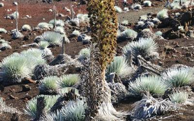 Silversword, Maui, Hawaii, 2011