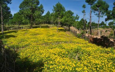 Myanmar, in de buurt van Kalaw, bloemen van de mosterdplant