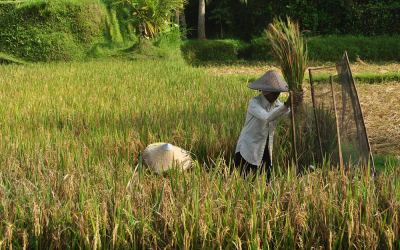 Rijstvelden in de buurt van Ubud, Bali, Indonesië, 2012