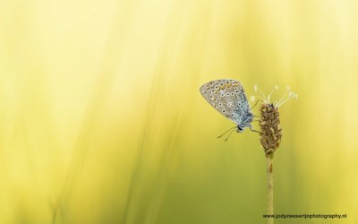 Heideblauwtje, Wieden, Wanneperveen, Nederland 19-8-2016