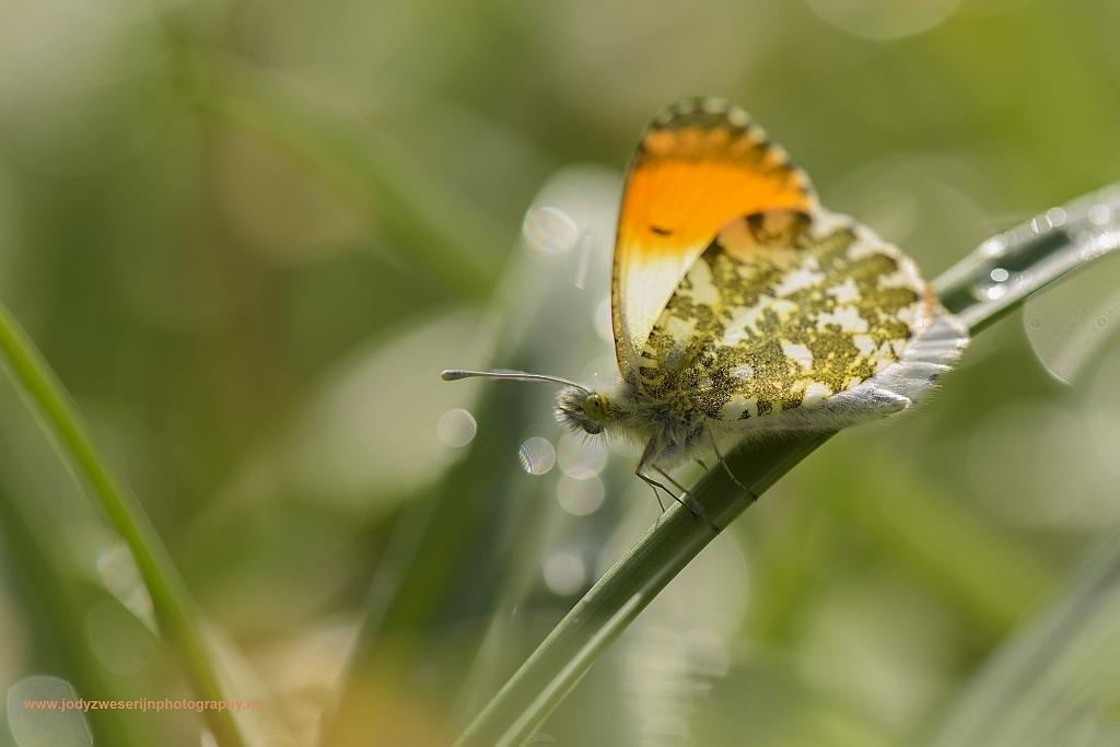 Oranjetipje, Nieuw Amelisweerd, Bunnik, Nederland, 2-4-2017