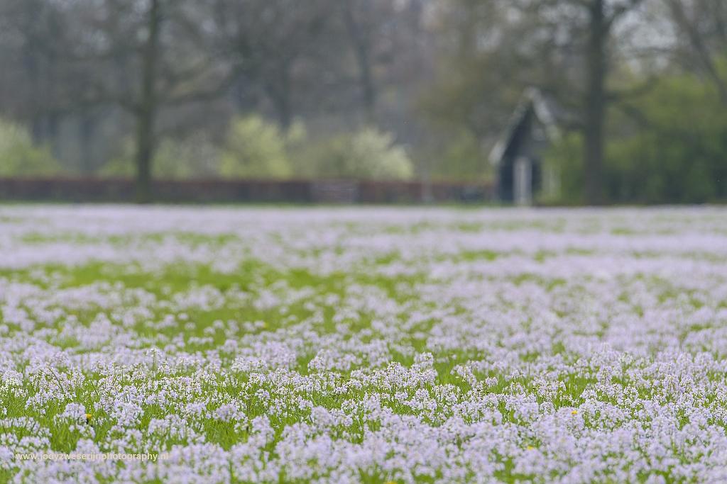 Een veld vol pinksterbloemen aan de Koningslaan in Bunnik, Nederland, 8-4-2017