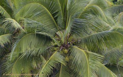 Bananenboom, Sohoton NP, Leyte, Filipijnen, 11-11-2017