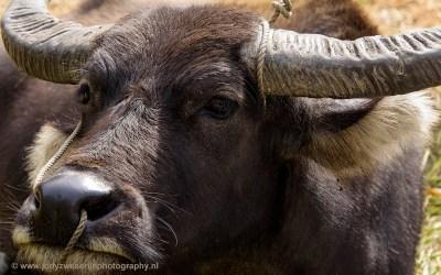 Waterbuffel, onderweg tussen Banaue en Sagada, Luzon, Filipijnen, 17-11-2017