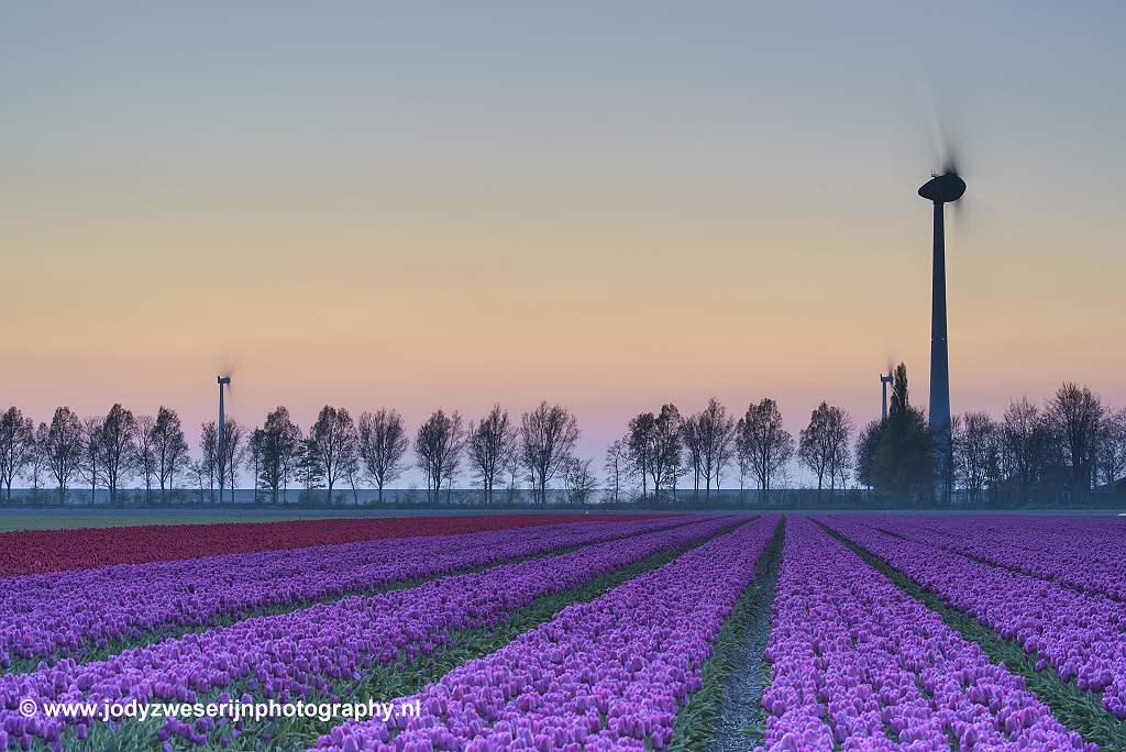 Tulpen, Rutten, 19-4-2019