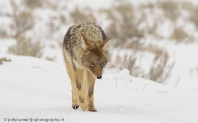 Coyote, Yellowstone, januari 2019