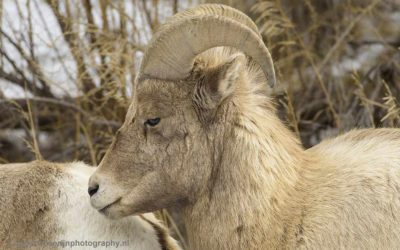 Bighorn sheep, Yellowstone, januari 2019