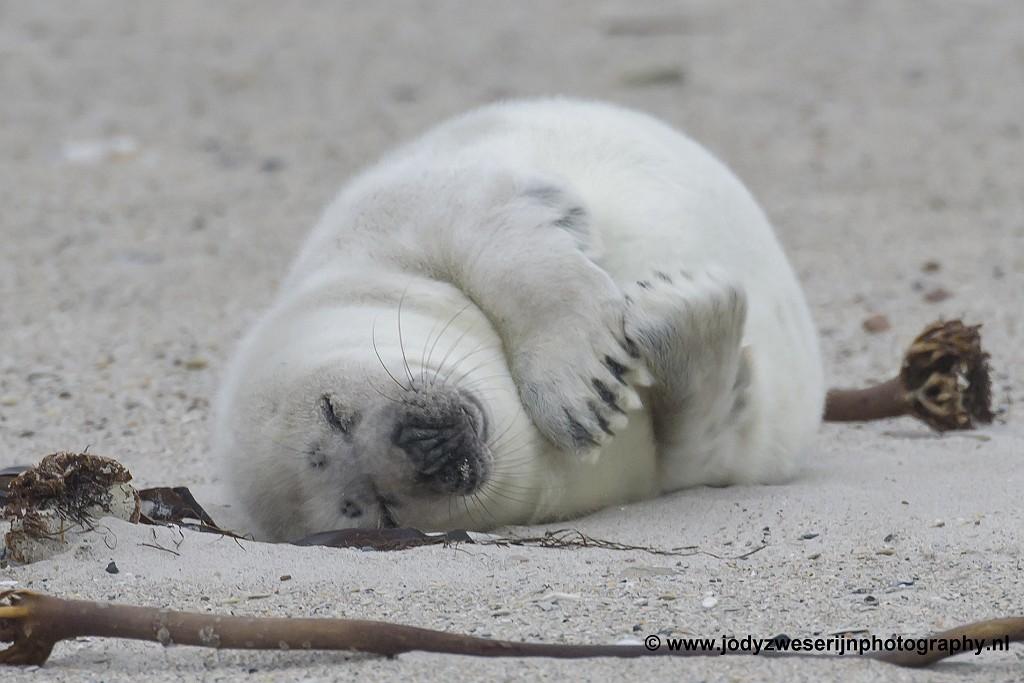 Zeehondenpuppie op Düne