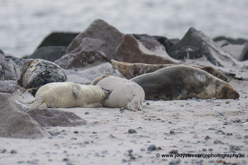 Zogende zeehondenpuppie