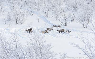 Rendieren onderweg, Noorwegen, 27-1-2020