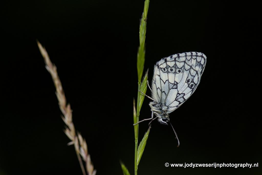 Vlinder, Nismes, België, 20-6-2020