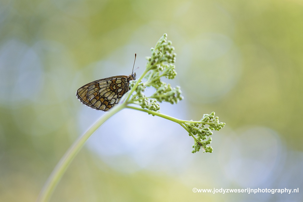 Bosparelmoervlinder, Viroinval, 25-6-2020
