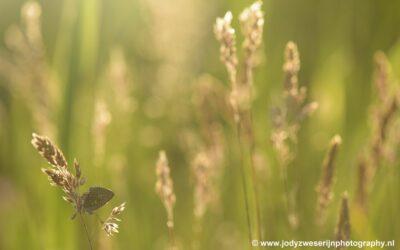 Vlinder, Wieden Weerribben, Doosje, 1-6-2020