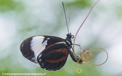 Tropische Vlinder, Orchideeënhoeve Luttelgeest, 2019